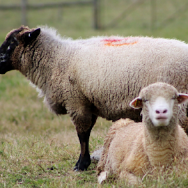 Two sheep by Leah Zisserson - Animals Other Mammals ( farm, animals., virginia, sheep, wool,  )