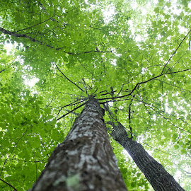 Green Giants by Blaine Linton - Nature Up Close Trees & Bushes ( nature, tree, green, bark, trees, forest )