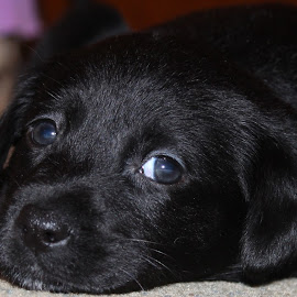 Aniko by Leanne Van Overbeke - Animals - Dogs Puppies ( black dogs, laborador, blue eyes, black lab )