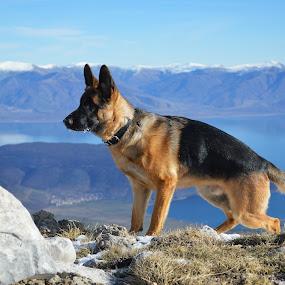 Charlie at Mali i Thate by Olsi Belishta - Animals - Dogs Playing ( mountains, snow, lake, charlie, dog, german shepherd )