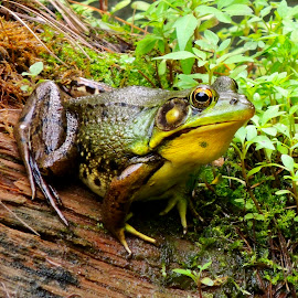 prince charming by Amy Powers Smith - Animals Amphibians ( warts, frog, amphibian, toad, coldblooded,  )