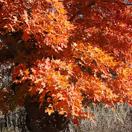 Maple by Artem Kholopov - Novices Only Flowers & Plants ( lost maples state natural area, leafs, autumn, colors, texas, maple )