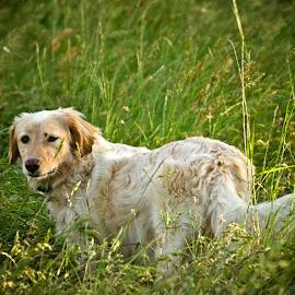 Free... by Irene Carrea - Animals - Dogs Portraits ( field, white dog, white, dog portrait, dog, shiny )