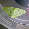 Emerald Plumbago Moth