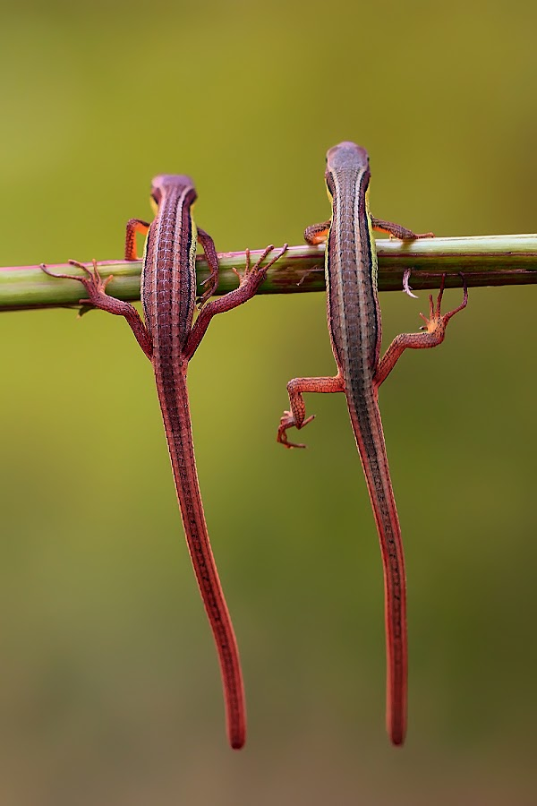 two lizzard by Iwan Pruvic - Animals Reptiles