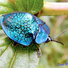 Metallic blue tortoise beetle