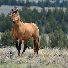 Wild Stallion Mingo. by Carolyn Edson - Animals Horses ( dun, stallion, wild horse, mustang, equine, wild mustang, horse, buckskin )