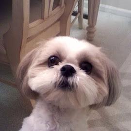 Cassie by Pam Kissner Sheedy - Animals - Dogs Portraits ( big eyes, begging, shi tzu, puppy, cute dog, lhasa apso )