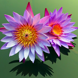 Reflected pair by Asif Bora - Flowers Flowers in the Wild
