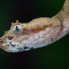 Eye lash pit viper