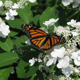 Necter Time by Sandra Haroldson - Novices Only Wildlife ( orange, butterfly, flower, black )