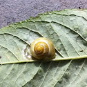White-lipped Snail