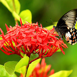 Butterfly Bliss by Prabuddha Samaddar - Animals Insects & Spiders ( butterfly bliss )