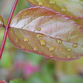 Raindrops by Lauren Beynon - Nature Up Close Leaves & Grasses ( colour, red, raindrops, leaf, pretty )