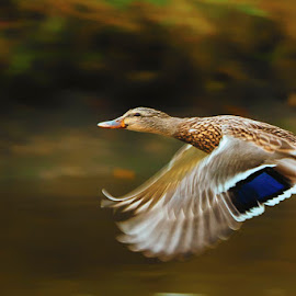 Flying Solo by Garry Dosa - Animals Birds ( bird, nature, 2014, duck, october, animal,  )