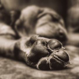 Restfull paws  by Angela Skinner - Animals - Dogs Puppies ( hound, paw, pup, puppy, sleeping, sleep,  )