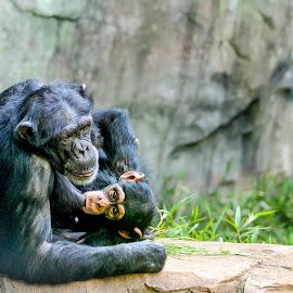 Mom & Baby by Carol Plummer - Animals Other Mammals ( mammals, chimpanzee, zoo, baby, animal )