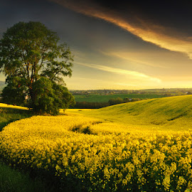 The Yellow Field. by Leslie Hanthorne - Landscapes Prairies, Meadows & Fields