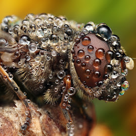 by Ondrej Pakan - Animals Insects & Spiders ( macro, insecte, fly, dew, dew drops, insect )