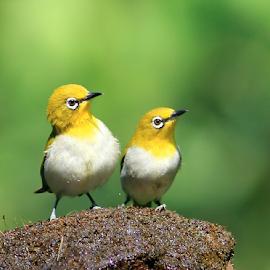 A pair of Oriental White Eye's posing... by BhanuKiran BK - Animals Birds ( bird, pose, oriental, pair, beautiful, white, little, yellow, cute, posing, eye )