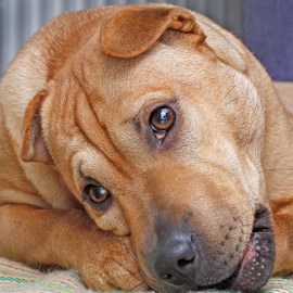 Tough bone by Mia Ikonen - Animals - Dogs Portraits ( shar-pei mix, resting, funny, finland, chewing )