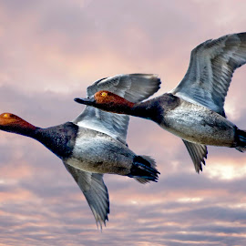 Two redheaded ducks flying in formation by Sandy Scott - Digital Art Animals ( two ducks, ducks in formation, flying ducks, redheaded ducks, ducks, water birds,  )