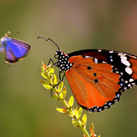 Here I Come!!! by Peetam Bose - Animals Other ( butterfly colors joy flower nature, animal, butterfy )