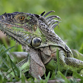 Iguana by Debra Martins - Animals Reptiles ( nature, iguana, wildlife, animal )