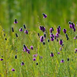 Purple Prairie Clover by Jill Beim - Flowers Flowers in the Wild ( wildflowers, prairie clover, landscape, flowers, prairie,  )