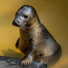 Rescued seal by Gill Kennett - Animals Other Mammals ( seal, mablethorpe, sanctuary, rescued, cute,  )