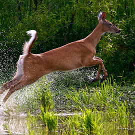 White-tail Deer running by Dan Ferrin - Animals Other Mammals ( nature, wildlife, white-tail deer, mammal, deer )