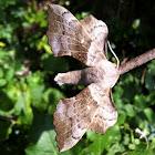 Pappelschwärmer (Hawk-moth)