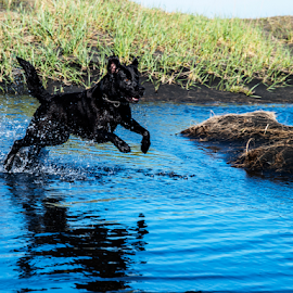 Fun in the sun. by Runólfur Hauksson - Animals - Dogs Running ( water, iceland, fun, labrador, sun )
