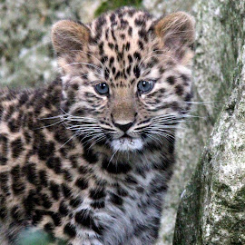 Leopard Cub by Ralph Harvey - Animals Lions, Tigers & Big Cats ( ralph harvey. animal, wildlife, cub, leopard, marwell zoo )