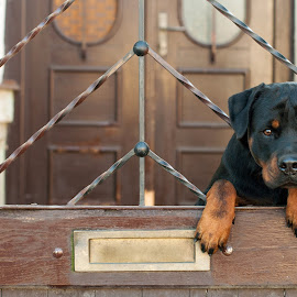 Rottweiler sitting on gate by Alexandru Pavalache - Animals - Dogs Puppies ( one, collar, indoors, show, cute, guar, guard, head, black, rottweiler, animal, pedigree, beautiful, young, canine, leash, exposition, pet, outdoors, background, purebred, puppy, down, dog, garden,  )