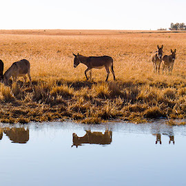 Donkey Clan by Thys Du Plessis - Animals Other (  )