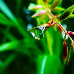 Dew Drop by Saurabh Gaikwad - Nature Up Close Natural Waterdrops ( water drops, green, raindrops, dew drops,  )