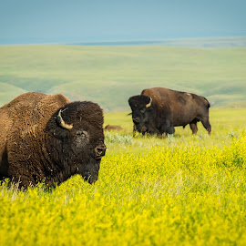 Bison by Tracy Munson - Animals Other Mammals ( buffalo, canola, bison, prairies, wildlife, field, rolling hills, nature, saskatchewan, grasslands, meadow, flowers, grasslands national park )