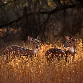 Golden Deer by Souvik Modak - Animals Other ( wildlife in india, gujrat, wildlife, forest, india, photography, deer )