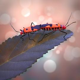 Milkweed Bugs in Love by Iwan Setiawan - Instagram & Mobile Other