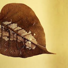 Moth eaten  by Prasanta Das - Nature Up Close Leaves & Grasses ( dry, peepul, leaf, moth eaten, decay )
