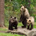 European Brown Bear (Cubs + Mum)