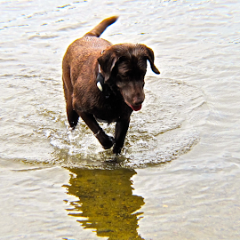 Brown Lab1 by Charlie Marcus - Animals - Dogs Playing (  )