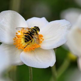 White Anemone and Fly by Nikola Vlahov - Nature Up Close Gardens & Produce ( nature, fly, anemone white, bokeh, close up )
