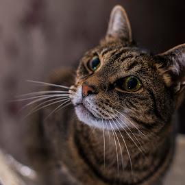 Sam by Aiden Ogden - Animals - Cats Portraits ( detail, cat, lighting, pet, portrait, animal )