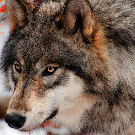 Timber Wolf Portrait by Jamie Cournoyer - Animals Other Mammals ( timber, winter, wolf, gray, portrait )