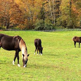 Pleasant Pasture with Horses. by Dan Dusek - Landscapes Prairies, Meadows & Fields ( autumn leaves, horses, horses grazing, autumn colors, landscape )