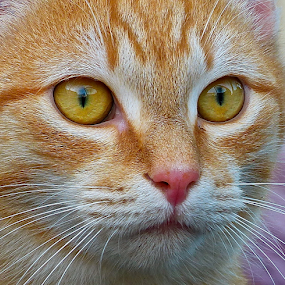 Tomcat by Laura Payne - Animals - Cats Portraits ( face, cat, stare, stray, free, fresh, side, tom, fur, pink, feline, tabby, animal, eye, orange, definition, ginger, alert, mouth, nose whisker, green, male, white, front, stripe, red, amber, dimple, nose,  )