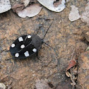 Seven-spotted or Indian Domino Cockroach