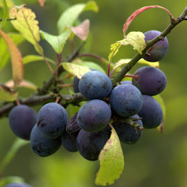 Sloe Berries by Chrissie Barrow - Food & Drink Fruits & Vegetables ( purple, green, bush, leaves, sloe, bokeh, blackthorn, berries,  )